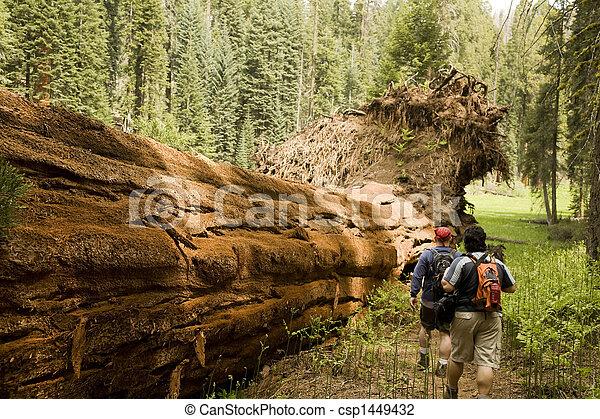 Men Hiking Along Fallen Redwood Tree - csp1449432