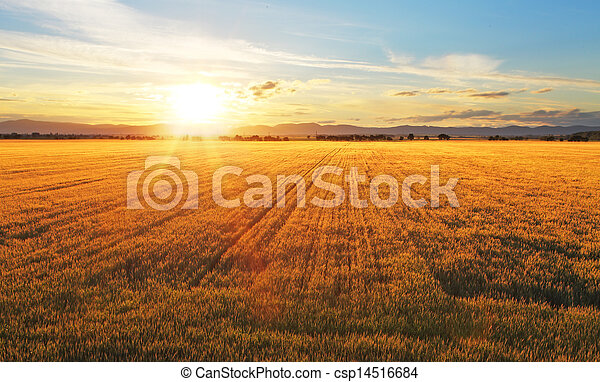 Sunset over wheat field. - csp14516684