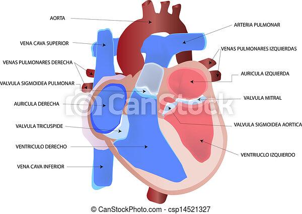 Illustration vecteur de coeur humain drawing les - Dessin coeur humain ...