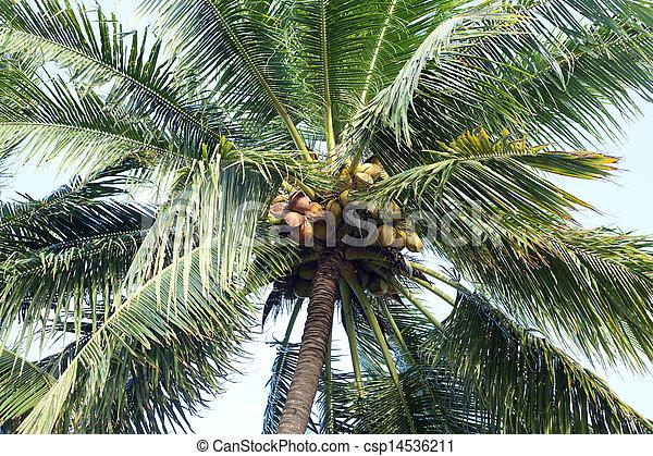 Coconut tree - csp14536211