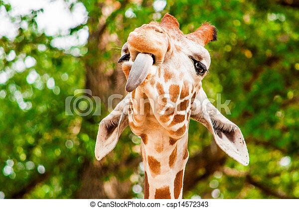 Photo rigolote girafe - Girafe rigolote ...