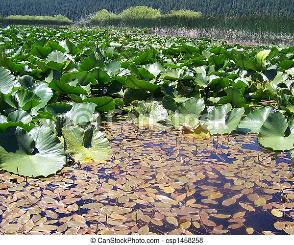 Water Lily Waterscape - csp1458258