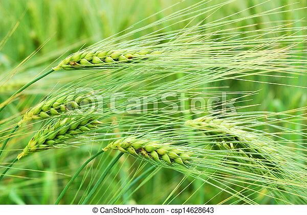 Detail of barley field in springtime - csp14628643