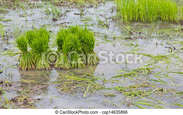 Rice agriculture preparation rice seedlings - csp14635866