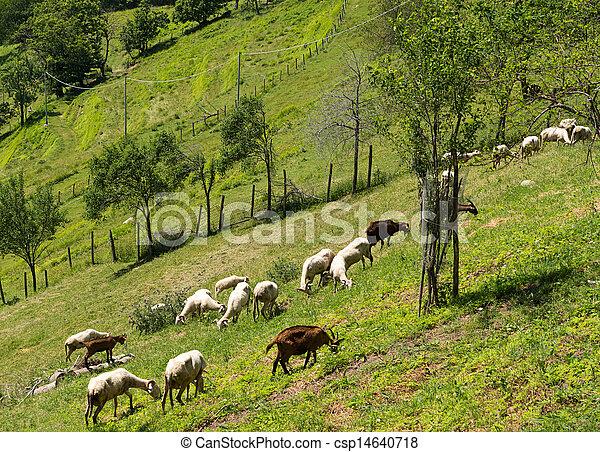 Goats on hillside - rural agriculture scene - csp14640718
