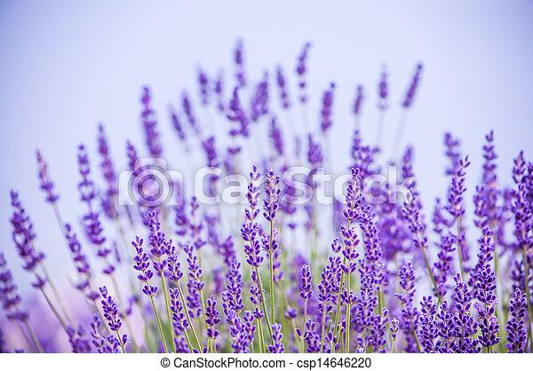Lavender flowers  - csp14646220