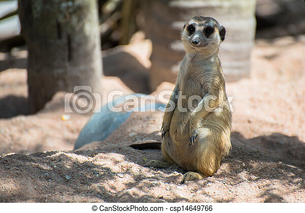 Meerkat, tiny mammal from africa - csp14649766