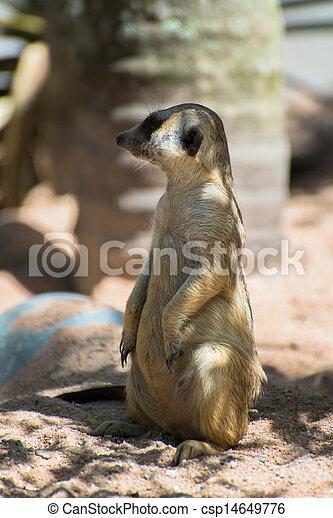 Meerkat, tiny mammal from africa - csp14649776