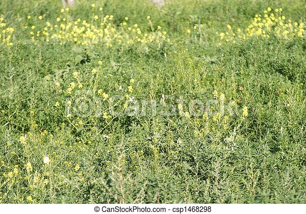 Wild Mustard - Butterflies - csp1468298