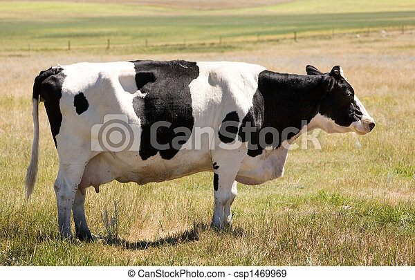 Unamused Holstein Cow - csp1469969