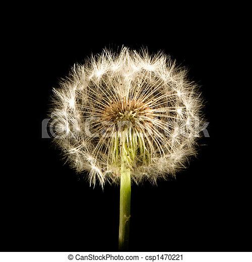 Dandelion Glow - csp1470221