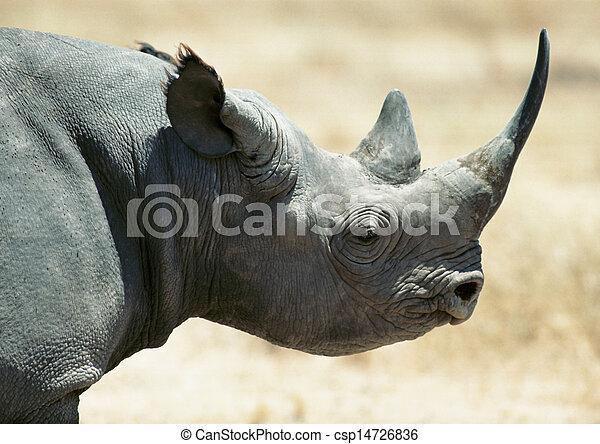 Rhinoceros, focus on head