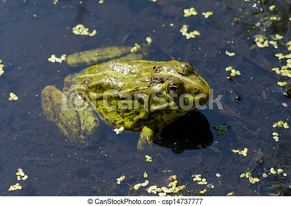 Frog on the algae in the pond - csp14737777
