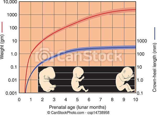 Fetal Development Chart - csp14738958