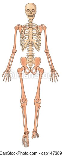 stock illustration of human skeleton ventral view - anterior view, Skeleton