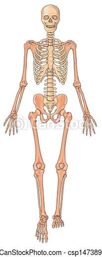 stock illustration of human skeleton ventral view - anterior view, Skeleton