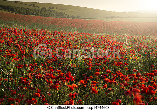 Stunning poppy field landscape under Summer sunset sky - csp14744603