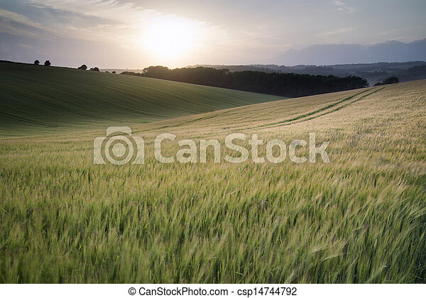 Beautiful Summer landscape of field of growing wheat crop during sunset - csp14744792