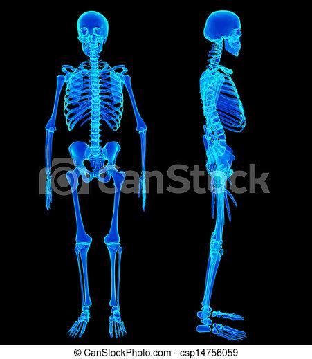 Male Human skeleton, two views - csp14756059
