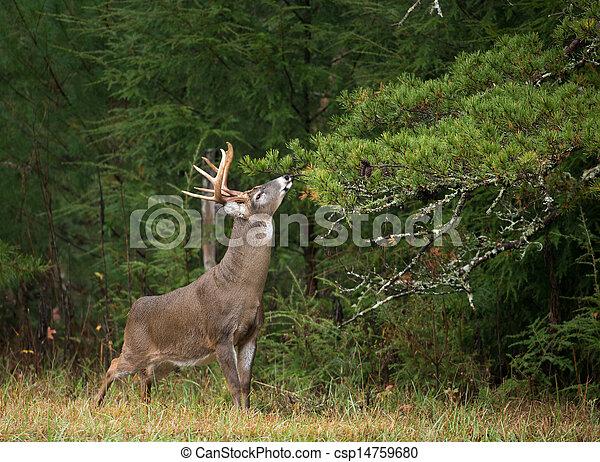White-tailed deer buck - csp14759680