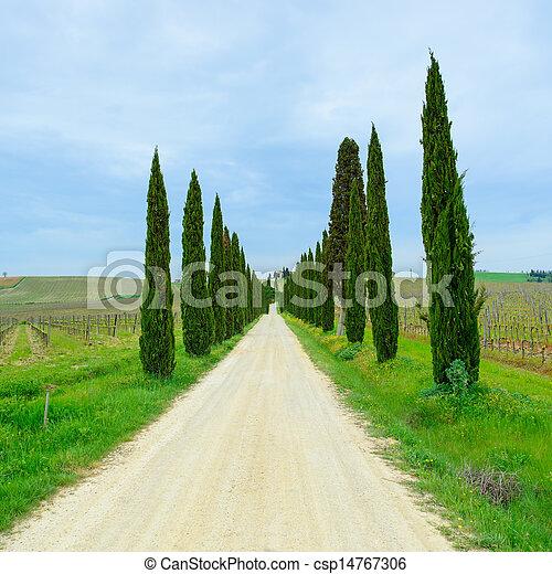 Tuscany, cyprys, Drzewa, biały, Droga, krajobraz, Włochy, Europa - csp14767306