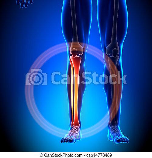Tibia / Fibula - Anatomy Bones - csp14778489