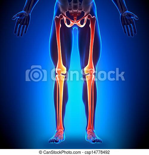 Legs Anatomy - Anatomy Bones - csp14778492