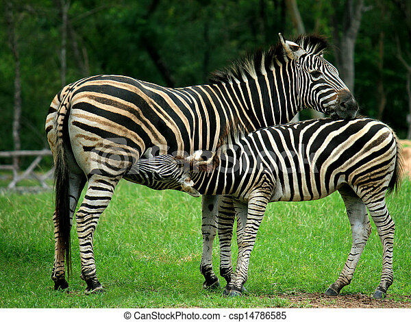 baby,  zebra, Mutter - csp14786585