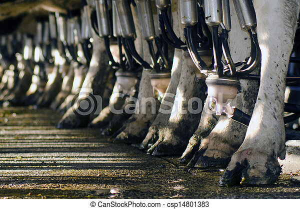 Dairy industry - Cow milking facility  - csp14801383