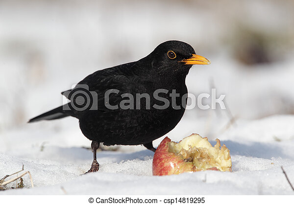 Blackbird, Turdus merula, single male eating apple in the snow, Midlands, winter 2010 - csp14819295