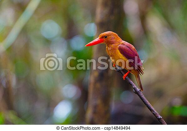 Ruddy Kingfisher-Halcyon coromanda bangsi - csp14849494