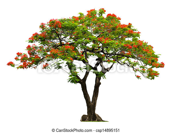 Royal Poinciana tree with red flower - csp14895151
