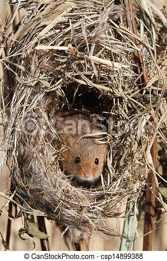 bilder von maus riede micromys gefangener januar nest ledig csp14899388 suchen sie. Black Bedroom Furniture Sets. Home Design Ideas