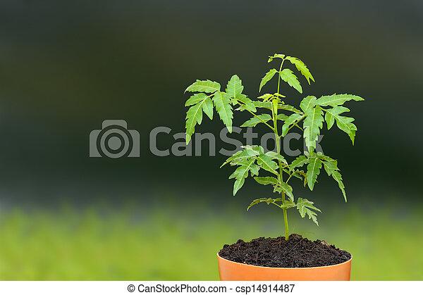 images de plante neem siamois pousse jeune pot graine young csp14914487. Black Bedroom Furniture Sets. Home Design Ideas