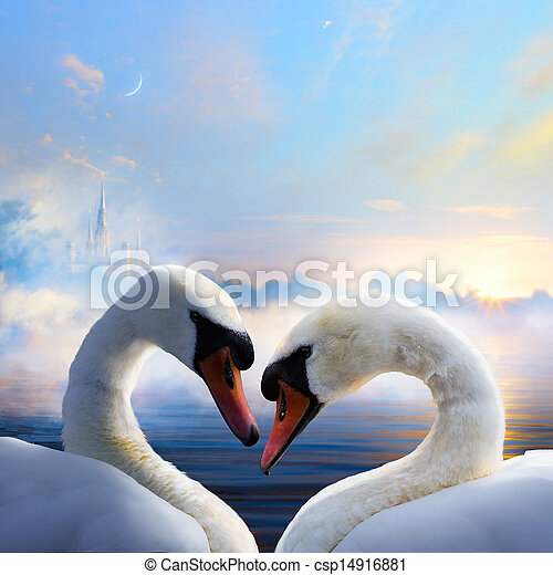pair of swans in love floating on the water at sunrise of the day - csp14916881