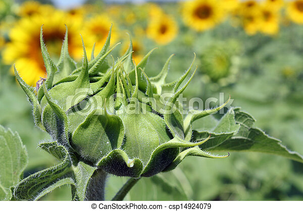 closed sunflower close up agriculture - csp14924079