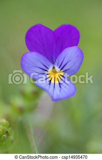ビオラ (植物)の画像 p1_11