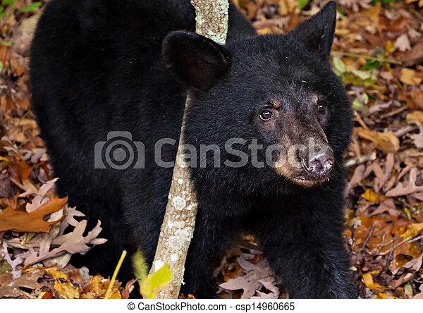 American black bear cub, seen along Skyline Drive in Shenandoah National Park, Virginia. - csp14960665