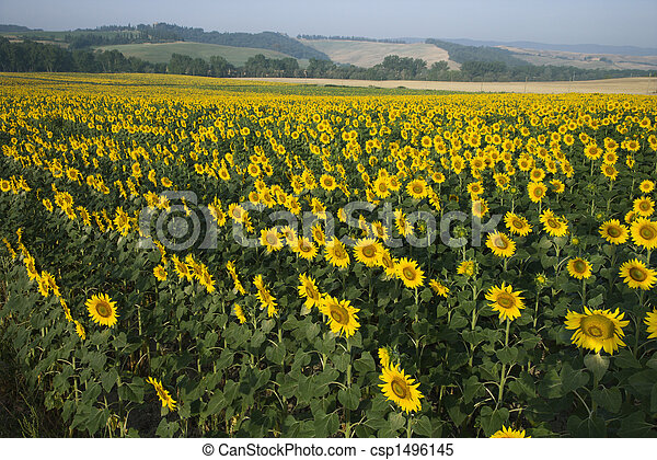 Sunflower field, Tuscany. - csp1496145