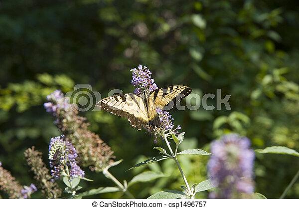 gul, svart, fjäril, Buske - csp1496757