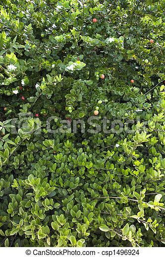 photo de vert luxuriant jasmin buisson csp1496924 recherchez des images des photographies. Black Bedroom Furniture Sets. Home Design Ideas