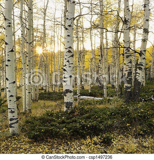 Aspen trees in Fall color. - csp1497236