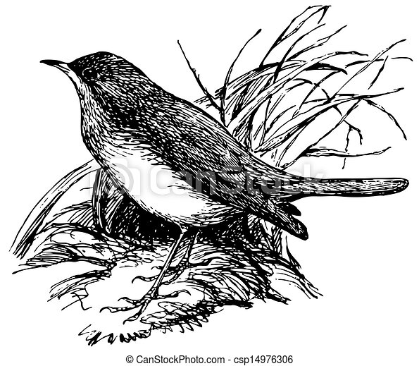 Nightingale Bird Drawing Bird Thrush Nightingale
