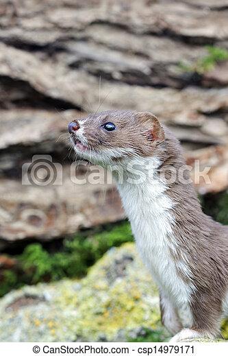 Weasel, Mustela nivalis, single mammal, captive, Midlands, September 2011 - csp14979171