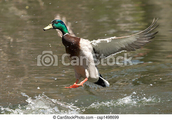 Duck landing on water - csp1498699