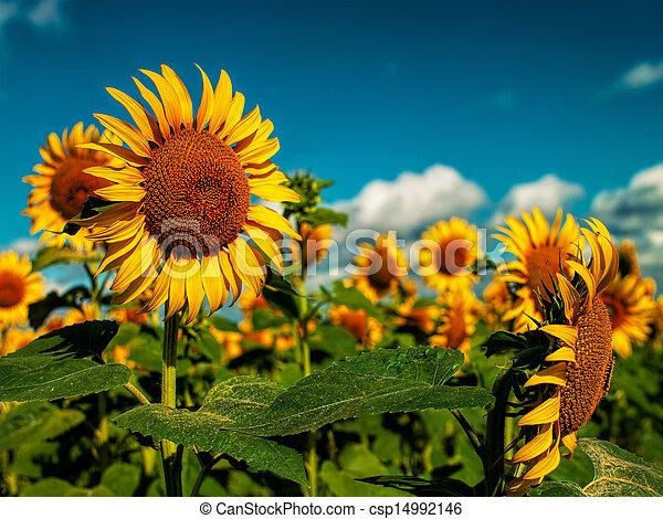 Sunflowers field under golden summer sun - csp14992146