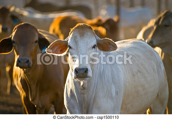 Cattle in yards - csp1500110