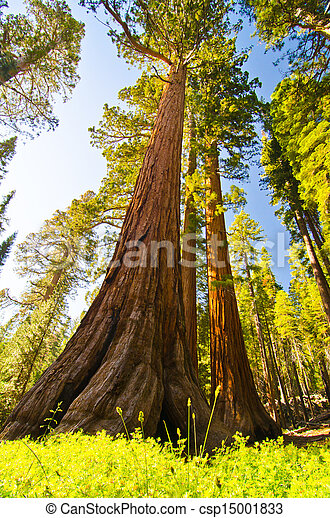 A giant sequoia at Yosemite National Park - csp15001833
