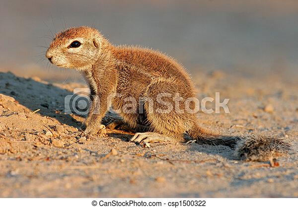 Ground squirrel - csp1500322