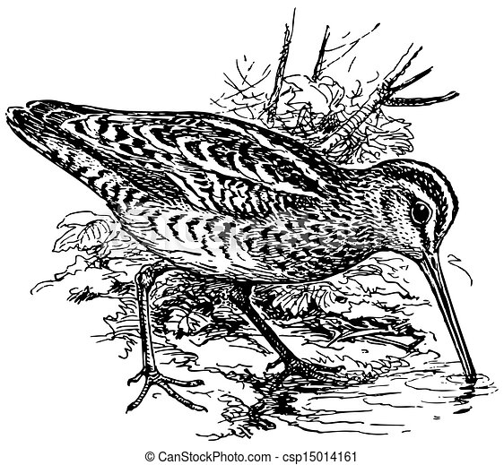 Bird Eurasian Woodcock - csp15014161